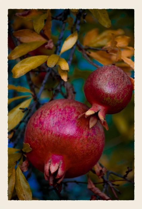 Pomegranates_DSC5520_1___