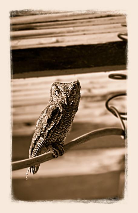 Young Screech Owl4810_
